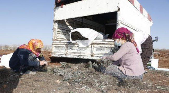 Mardin'in Savur Dağları lavanta kokacak